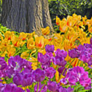 Central Park Tulip Display Poster