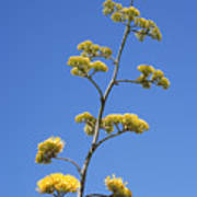 Century Plant Flowers Poster
