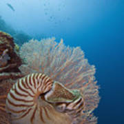 Chambered Nautilus Poster by Dave Fleetham - Printscapes