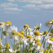 Chamomile Nature Spring Scene Poster