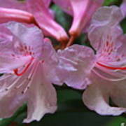 Chapmans Rhododendron Poster