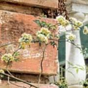 Charleston Climbing Rose Poster