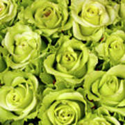 Chartreuse Colored Roses Poster