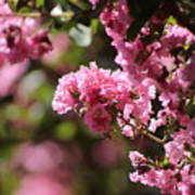 Chateau Rose Pink Flowering Crepe Myrtle  Poster