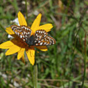 Checkerspot On Bahai Aster 1 Poster