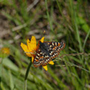 Checkerspot On Bahai Aster 4 Poster