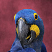 Cheeky Macaw Poster