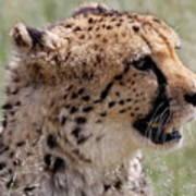 Cheetah No. 2  Poster