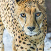 Cheeta Up Close Poster