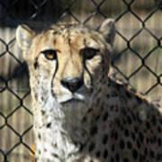 Cheetah Alert Poster