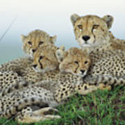 Cheetah And Her Cubs Poster