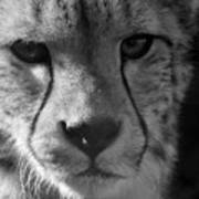 Cheetah Black And White Poster