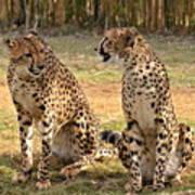 Cheetah Chat 2 Poster