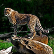 Cheetah Cub Finds Her Pride Rock Poster