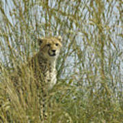 Cheetah Cub In Grass Poster
