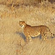 Cheetah In Landscape Poster