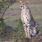 Cheetah Meditating Poster