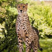 Cheetah Overlook Poster