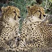 Cheetah Pair Poster