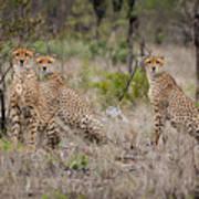 Cheetah Party I Poster