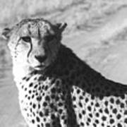 Cheetah Pose Poster by Susan Chandler
