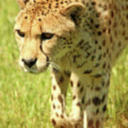 Cheetah The Fastest Land Animal Poster