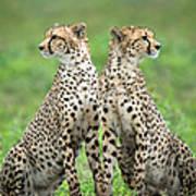 Cheetahs Acinonyx Jubatus In Forest Poster