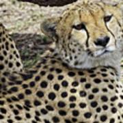 Cheetahs Resting Poster