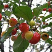 Cherries In The Morning Rain Poster