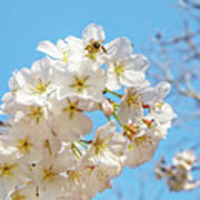 Cherry Blossom And A Bee Poster