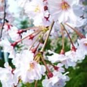 Cherry Blossom Closeup Poster