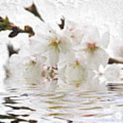 Cherry Blossom In Water Poster by Elena Elisseeva