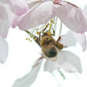 Cherry Blossom With Bee Poster