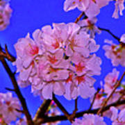 Cherry Blossoms 004 Poster