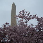Cherry Blossoms At The Washington Monument Poster