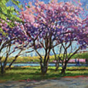 Cherry Blossoms, Central Park Poster
