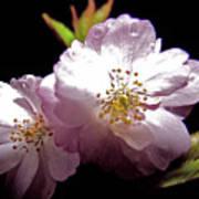 Cherry Blossoms Poster by Debra     Vatalaro