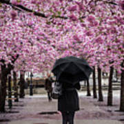 Cherry Blossoms In The Rain Poster