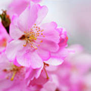 Cherry Blossoms Sweet Pink Poster