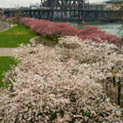 Cherry Blossoms Trees Along Portland Waterfront Poster
