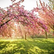 Cherry Flowers Garden Illuminated With Sunrise Beams Poster