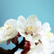 Apricot Flowers IIi Poster