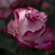 Cherry Parfait Rose Poster