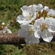 Cherry Tree Blossom White Flower Poster