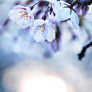 Cherry Tree Blossoms In Morning Sunlight Poster
