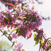 Cherry Tree Flowers Poster