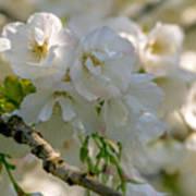 Cherryblossom Flowers 2 Poster