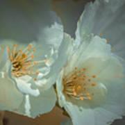Cherryblossom Flowers Poster