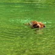 Chesapeake Bay Retriever Swimming Poster