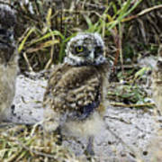 Chick Burrowing Owl  Poster